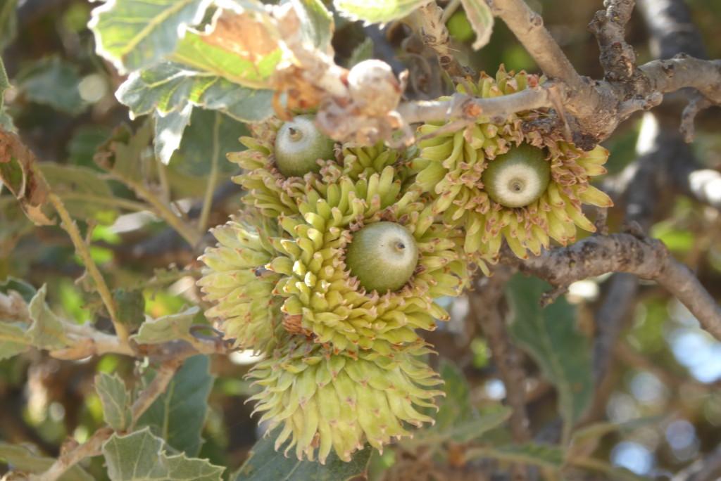 Kea acorns almost ripe in September