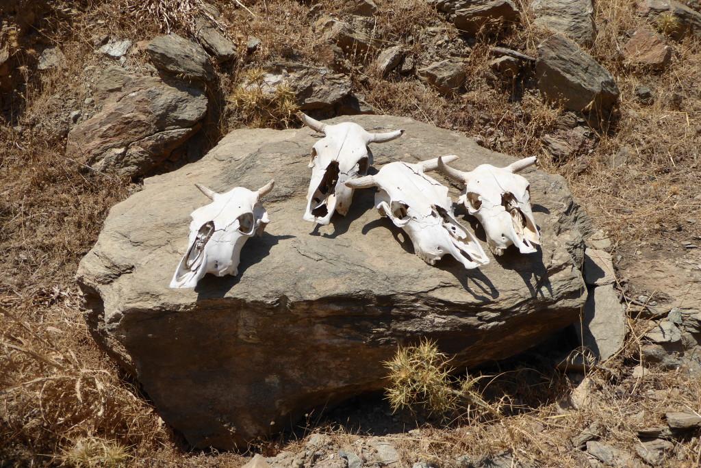 Oxen skulls near the church of St. Anarguris at 'Sto Makrinó'