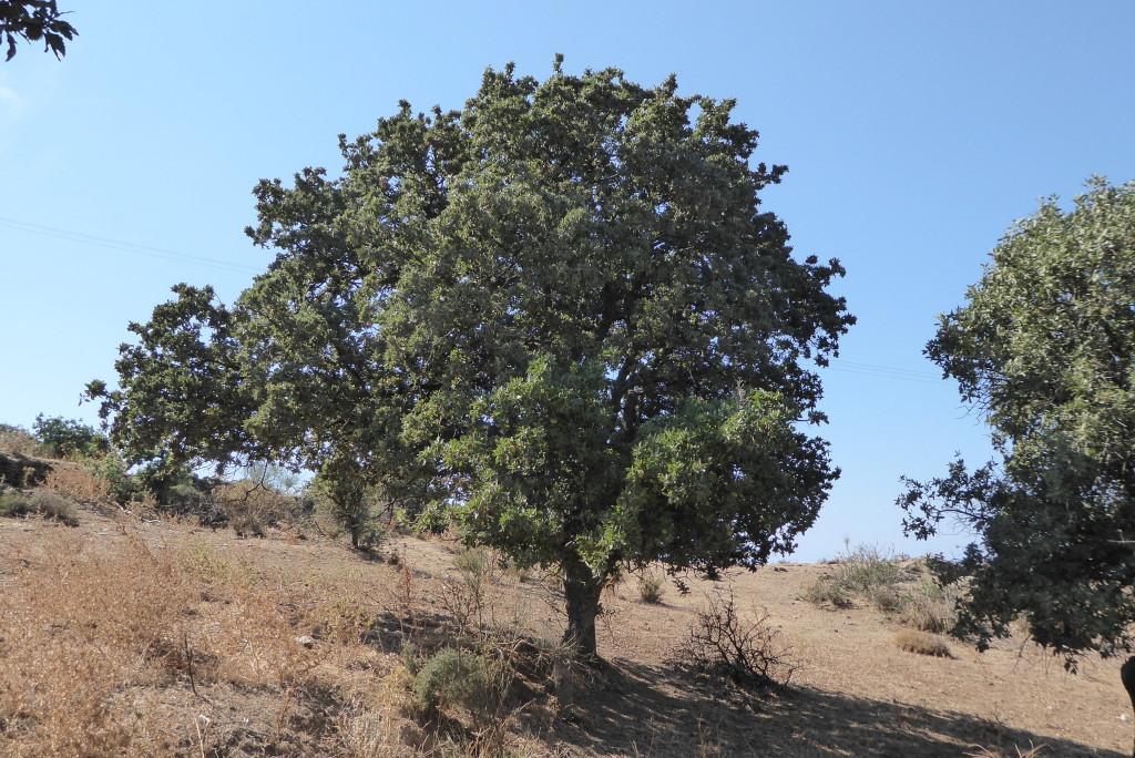 The Kea oak tree 'Quercus Ithanburesis'